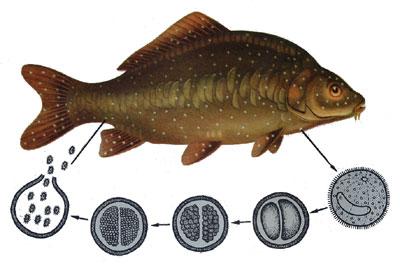Рыбы.  Болезни рыб.  Лечим ихтиофтириоз.