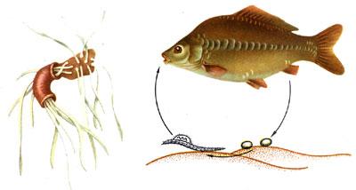(ФОТО) Нажмите, для просмотра.  Болезни и враги рыб.  Кавиоз.